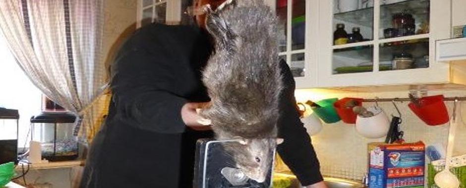 39 - Il topo gigante di 40 cm che ha terrorizzato una famiglia svedese. (39)